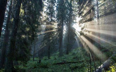 Dobročský prales
